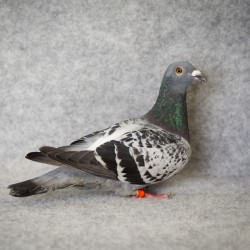 Pigeon Academy