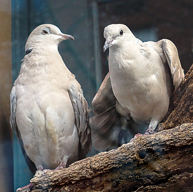 Doves, WBF window © Dorothy Koval